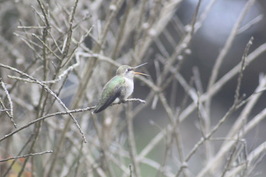I was at work (Fort Ross Lodge), when I seen that the Humming birds were out in force. I decided ...