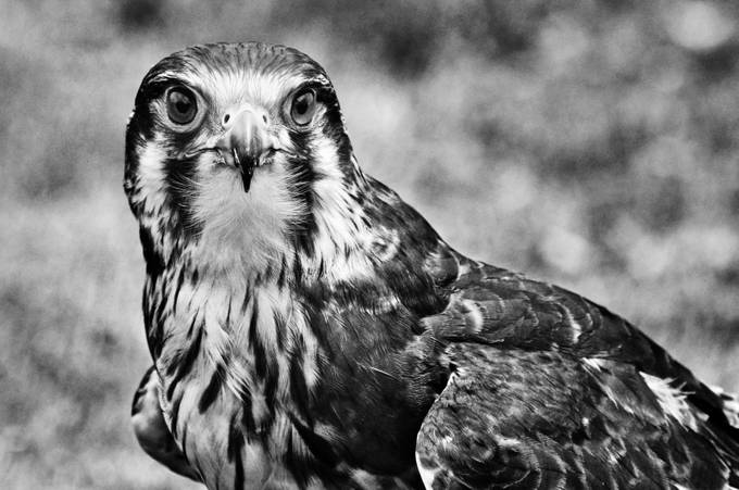 Robin the Brown Falcon by Roach1969 - Awesomeness In Black And White Photo Contest
