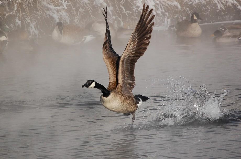 A goose taking flight