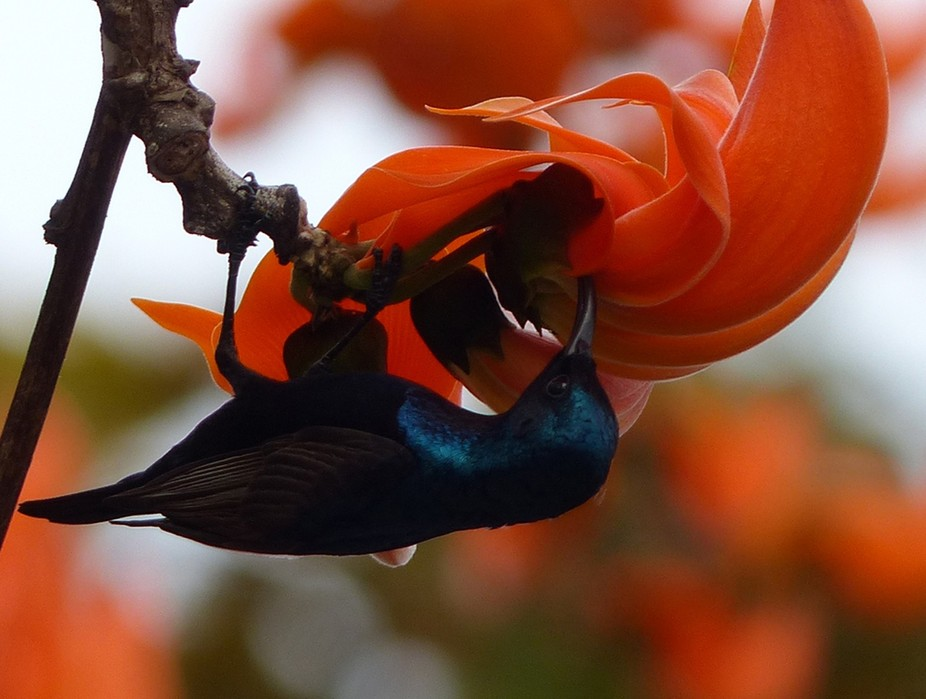 In Thailand, the colorful and beautiful flowers of The Flame of the Forest are in full bloom in t...