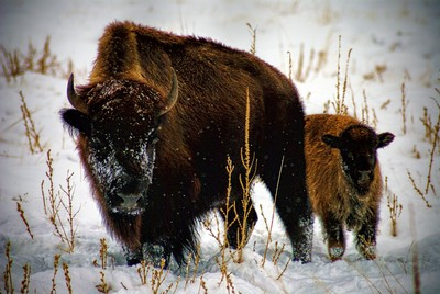 Snow covered Bison and calf