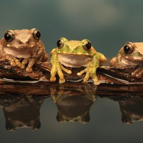 Three Peacock tree Frogs on a rock with reflection in water