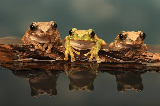 Three Peacock Tree Frogs by ceridjones - Monthly Pro Vol 17 Photo Contest