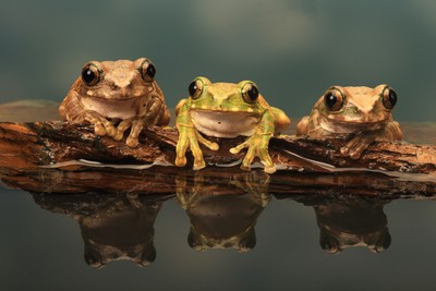 Three Peacock Tree Frogs