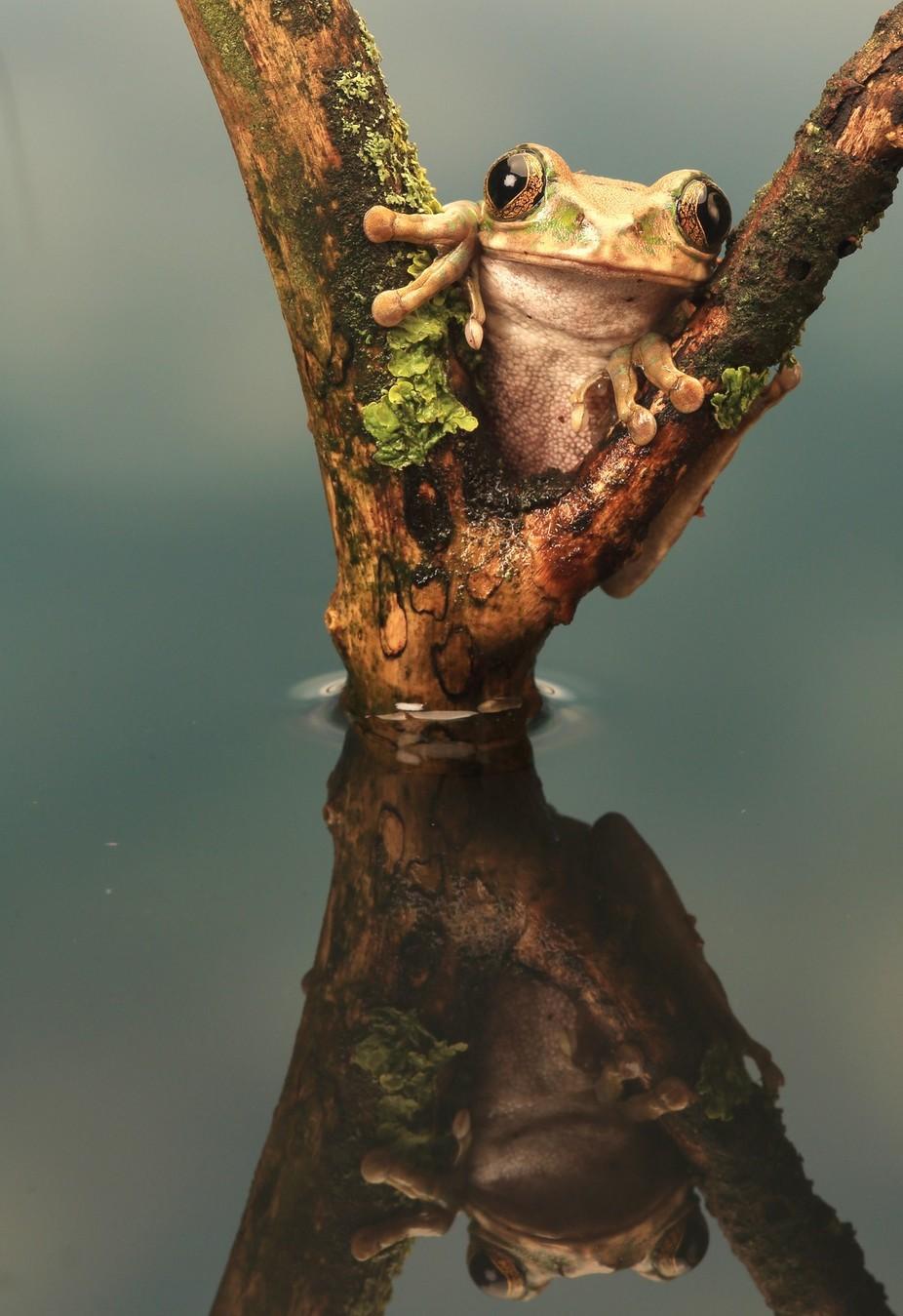 Peacock Tree Frog by ceridjones - Reptiles Photo Contest