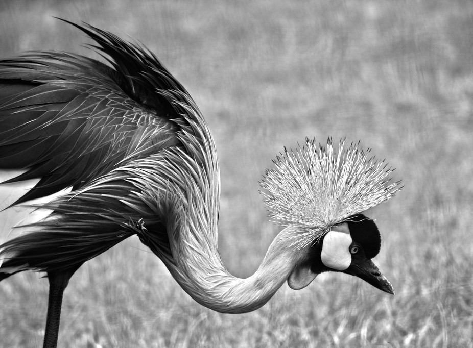Grey (Southern) Crowned Crane