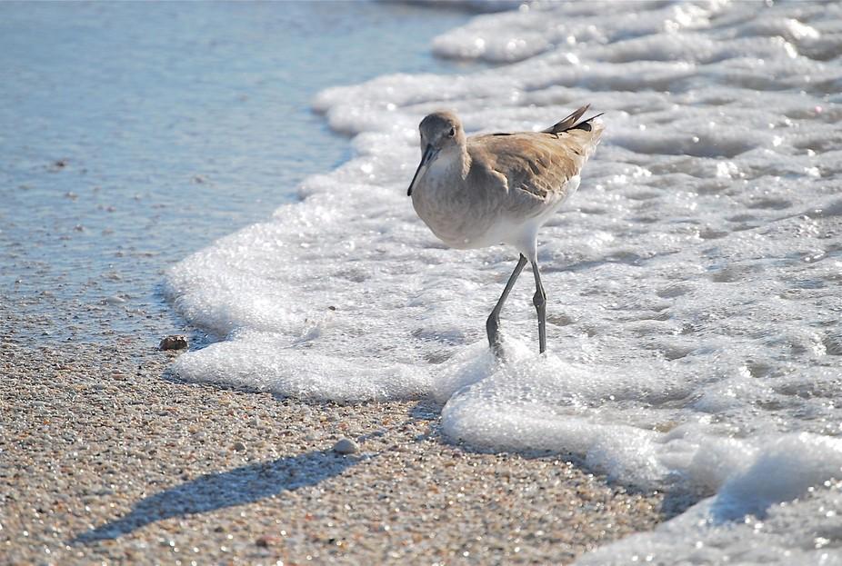 A Sandpiper just walking thru the foam of a passing wave on the Gulf Coast.  Sanibel Island, FL i...