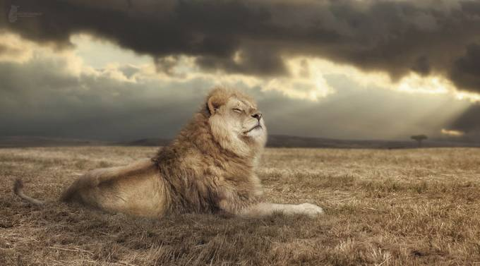 Lion King by Fotostyle-Schindler - The Beauty Of Nature Photo Contest