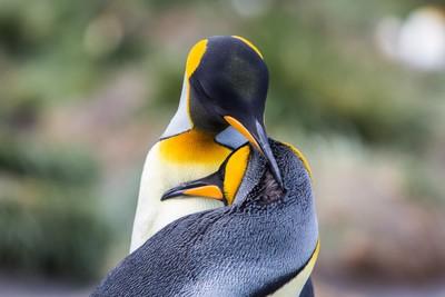 King Penguin Pair - South Georgia