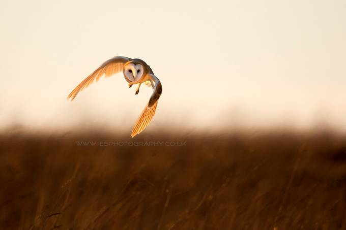 Barn Owl hunting by iesphotos - Only Owls Photo Contest