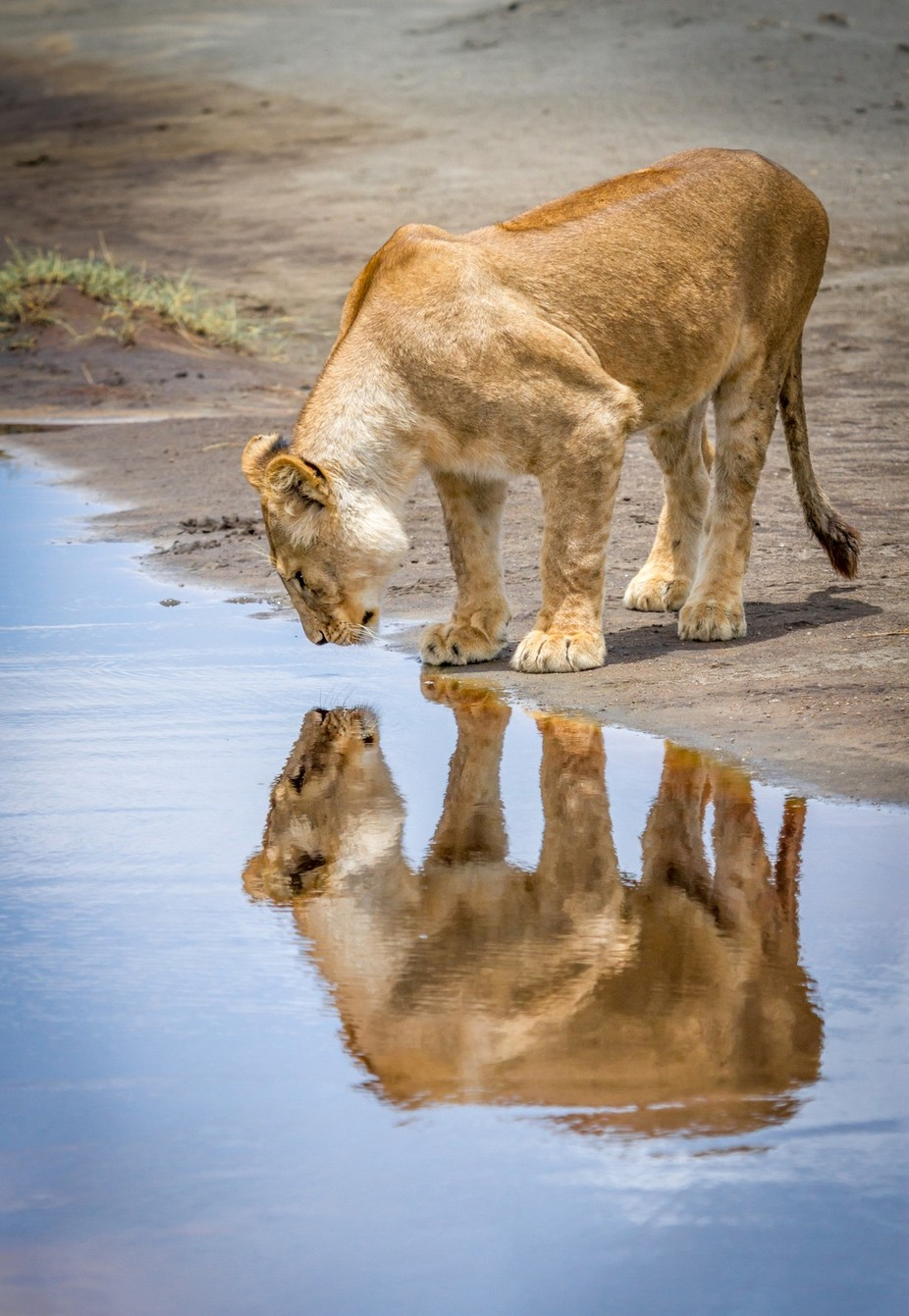 Lioness Reflection by CindiAlvarado - Explore Africa Photo Contest