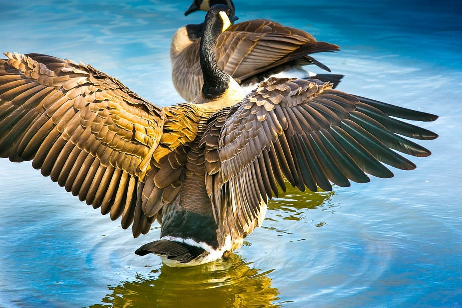 Beautiful day and the geese were taking full advantage of it by bathing and arranging their feath...