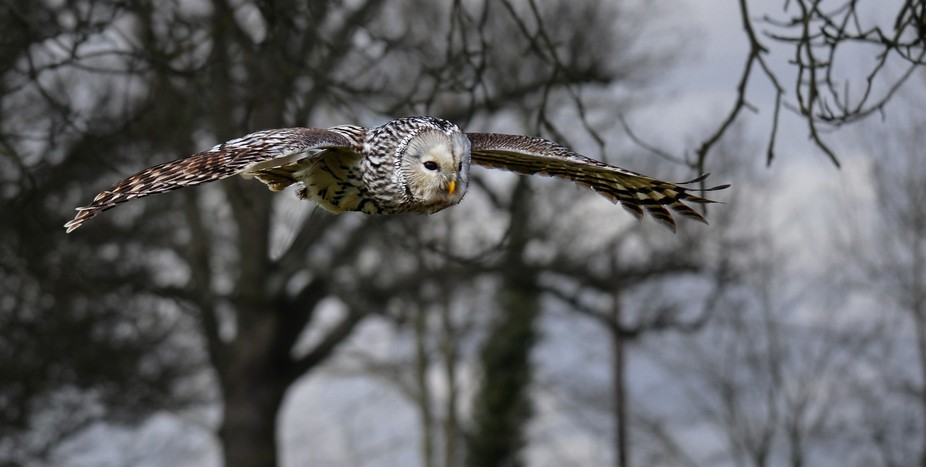 Leaving the trees and swooping in to pass by.