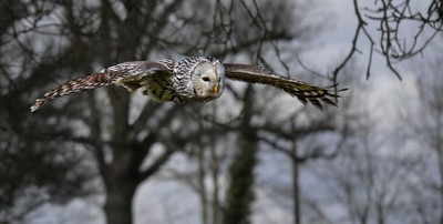 Leaving the trees for a swoop.