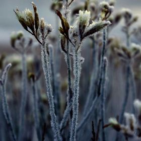 Hoarfrost on new spring buds on lakeshore
