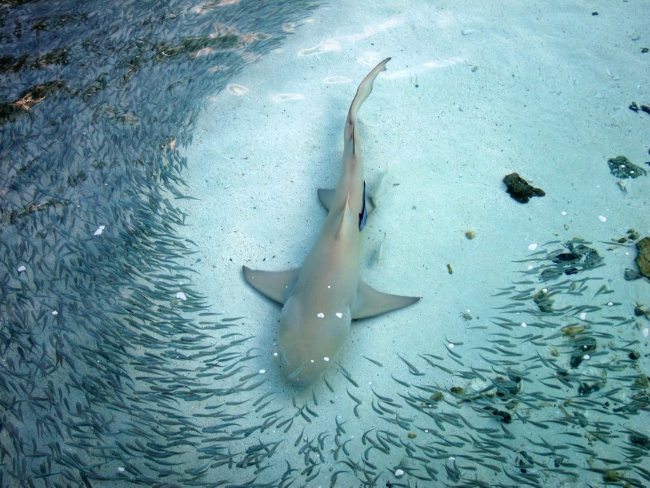 A group of these beautiful sharks, worked together to herd the fish into a giant bait ball before...