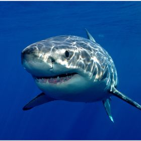 Great white shark  from Guadeloupe Island, Mexico