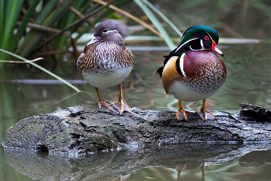 Side-by-Side Wood Ducks