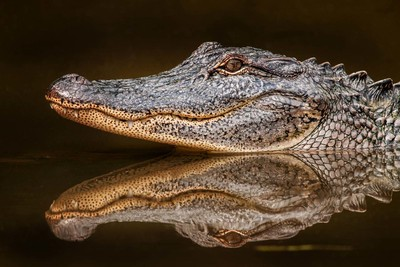 Alligator with reflection