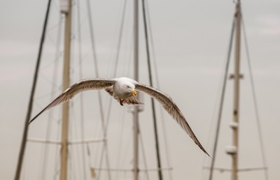 Seagull head-on in flight