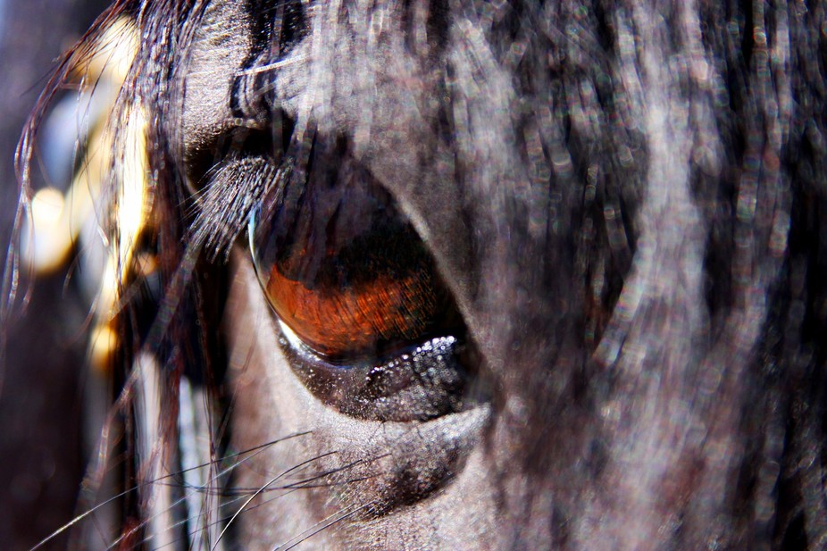 The right eye of Kobur Naiche - a black medium Welsh Pony Stallion.