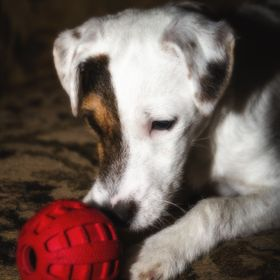 A 6 month old Jack Russell Terrier and her favorite toy...