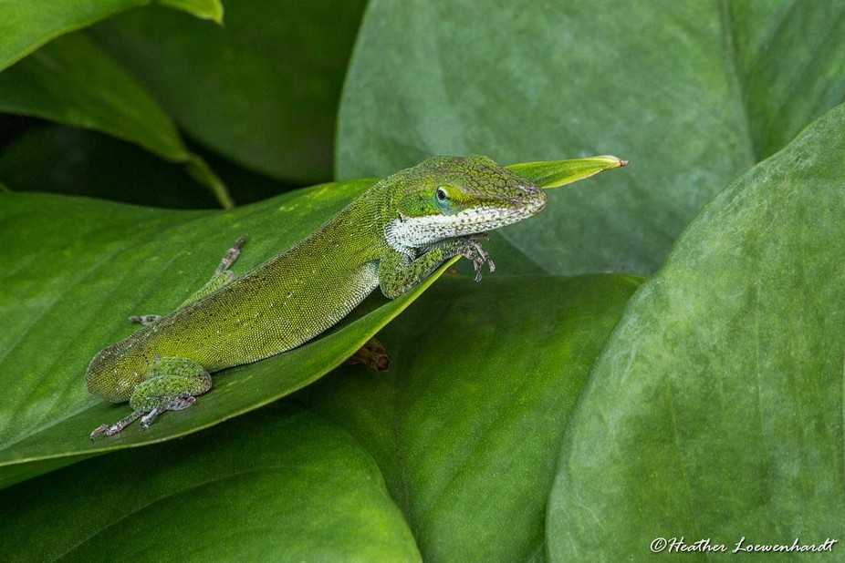 Green Gecko - Maui, Hawaii  This little guy posed so nicely for me as he caught a few rays. He ha...