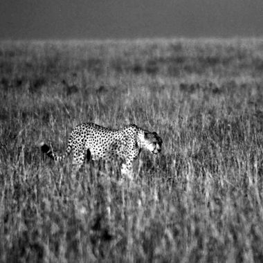 This Cheetah appeared to be alone, but within a minuet or two it turned out to be hunting dangerous prey - a wild boar.