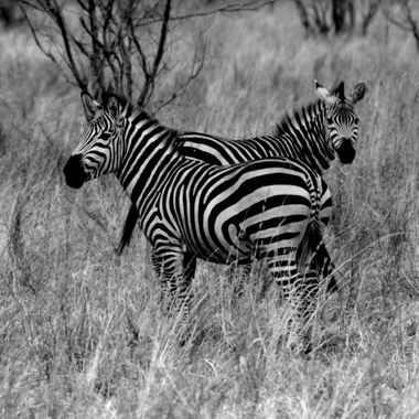 While on Safari I initially thought I really wanted to see the cats - and I did loved the leopards, lions, etc,  but I didn't expect to enjoy the zebras as much or that that would be as hard to find.