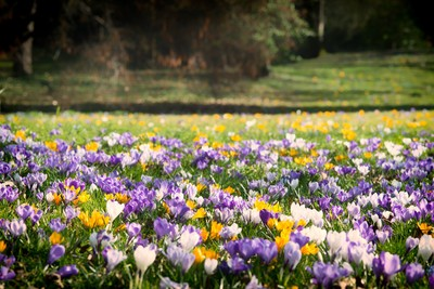 Millions of Crocuses