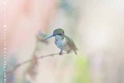 Hummingbird Hanging out on Salvia