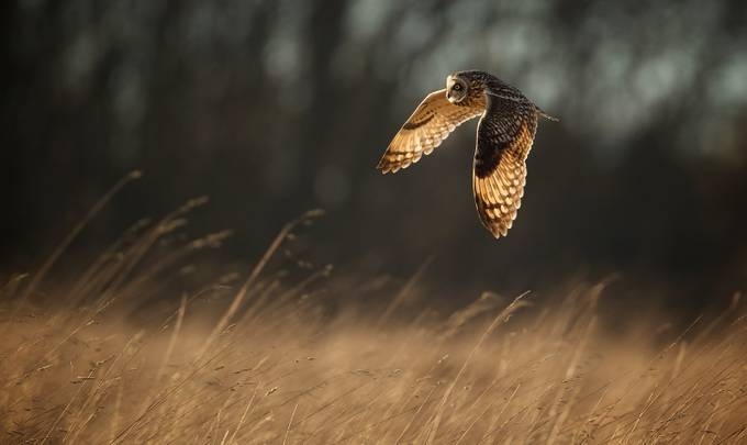 fly-by by bridgephotography - Beautiful Owls Photo Contest