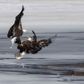 Two Bald Eagles latch talons in a fight over a fish on the icy Mississippi River.