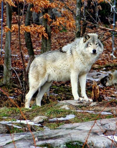 Serenity - Timber Wolf