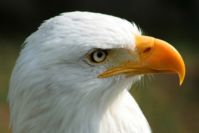 Face of a Male Bald Eagle