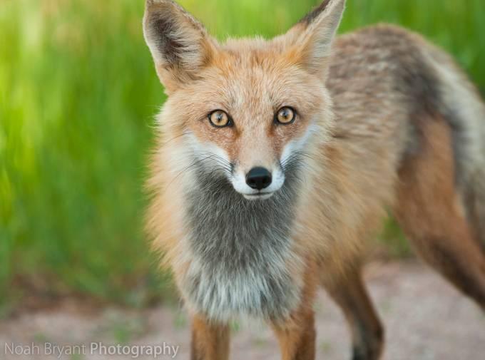 name fox eyes - photo #13