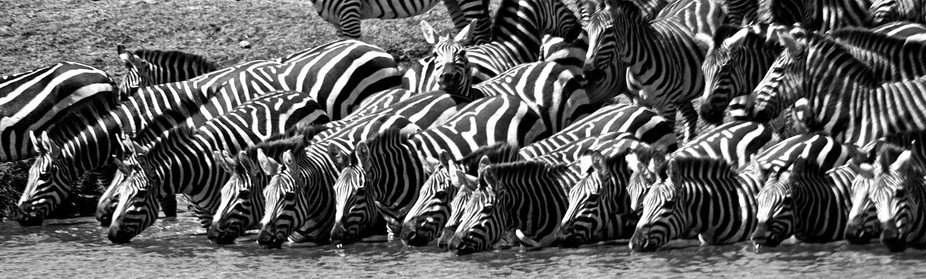 Captured this moment on the Serengeti during the great migration.  Zebra are at their most vulner...