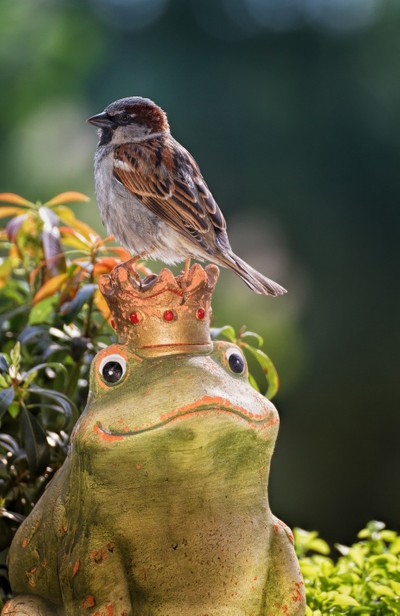 Eurasian Tree Sparrow atop a crowned Frog.