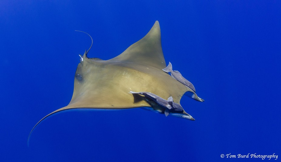 This is one of a beautiful squadron of chilean devil rays which encircled us for over an hour in ...