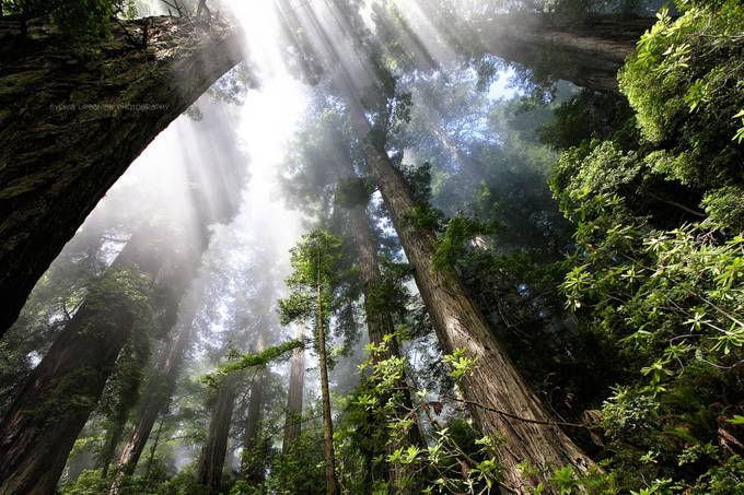 Redwoods by SylwiaUrbaniak - Fish Eye And Wide Angle Photo Contest