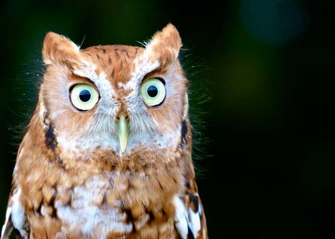 Screech by MichelleSherwood - Beautiful Owls Photo Contest
