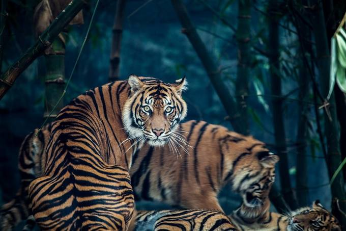 Tiger Stare by justinbetts - Happening At The Zoo Photo Contest