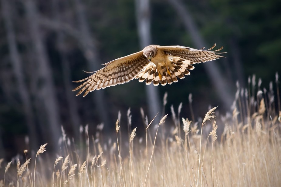 Northern Harrier hunting a cranberry bog, Marquette County, Michigan
