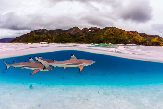 Black tip reef sharks by KanaPhotography - Compositions 101 Photo Contest vol4