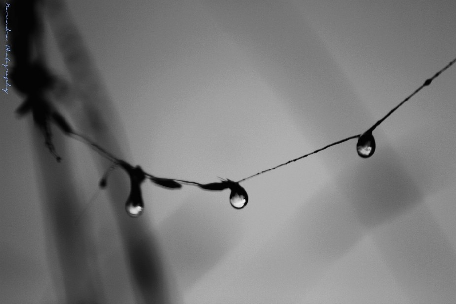 After rain there droplets form a necklace on a spiderweb.