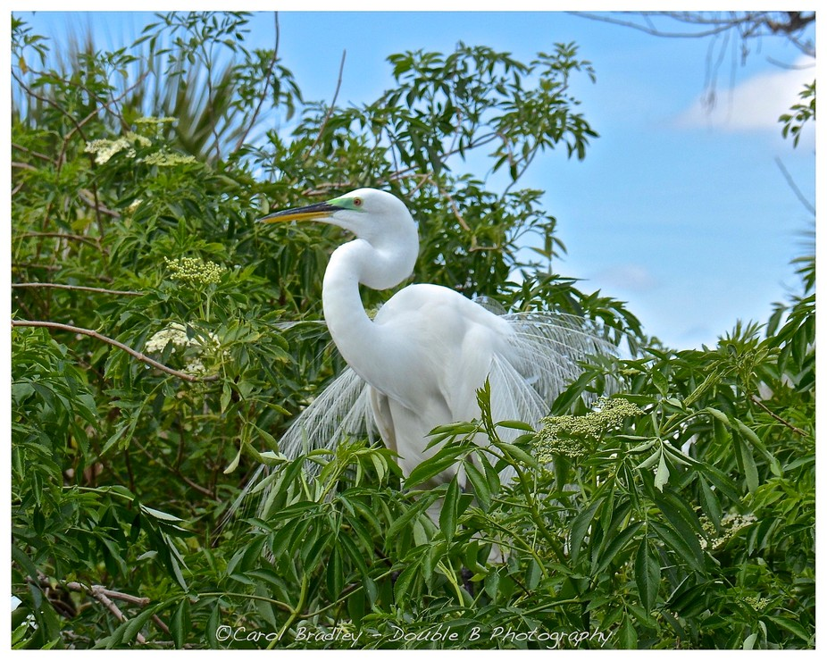Fancy . . .Great Egret in breeding color and plumage, Gatorland Rookery, Orlando, Florida USA . ....