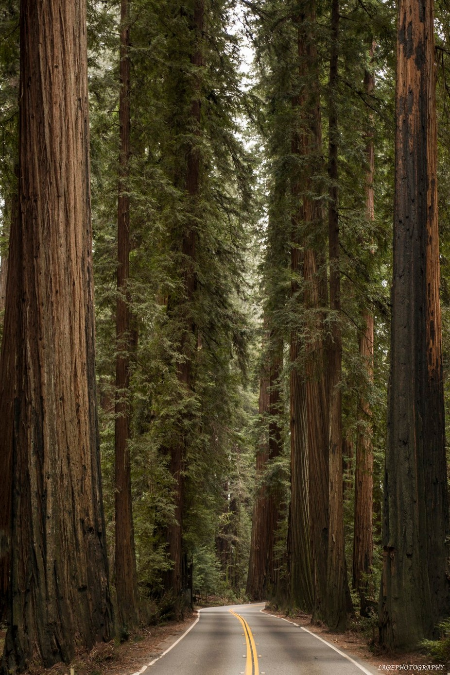 Avenue of the Giants (Calif Redwoods) by LAGE - Large Photo Contest