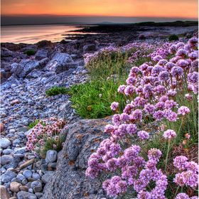 An early summer shot of thrift growing along the coast of Porthcawl, South Wales.