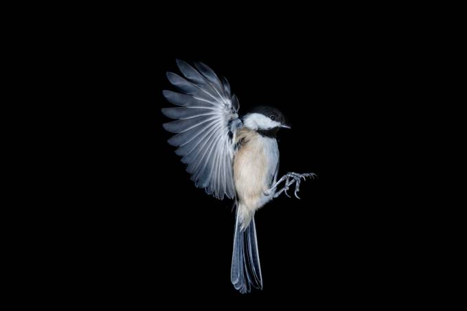 Chickadee In Flight  by michaelrowlandson
