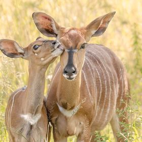 Nyala (Tragelaphus angasii) kid and mother. Entabeni, South Africa.